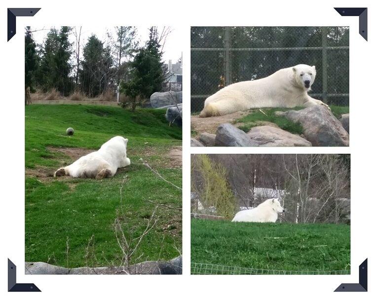 トロント動物園の白熊