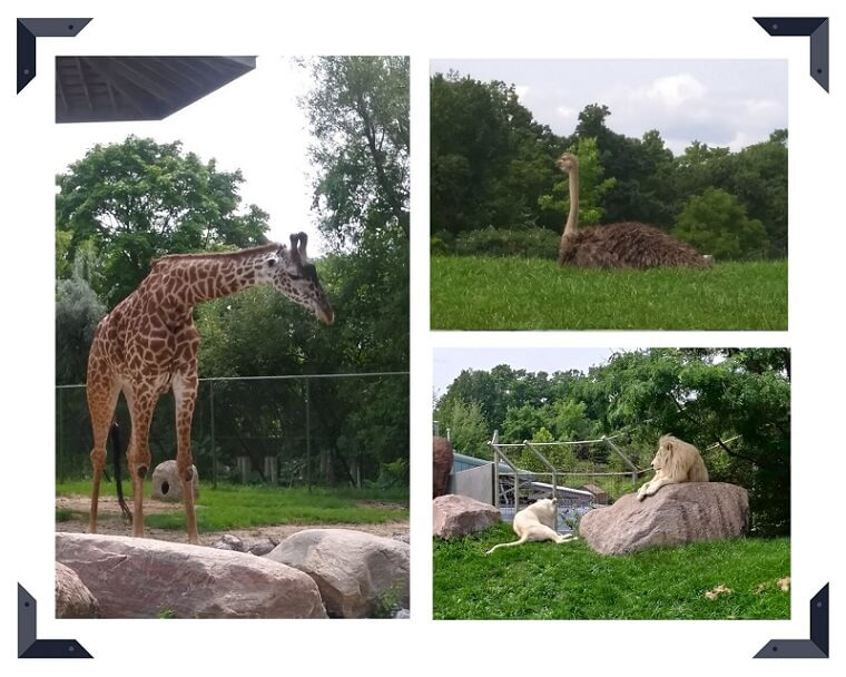 トロント動物園のキリン